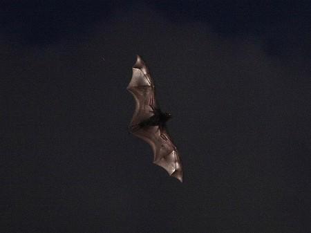 Bat thanks to Steve Garner on Flickr