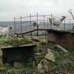 bleakholt-goats